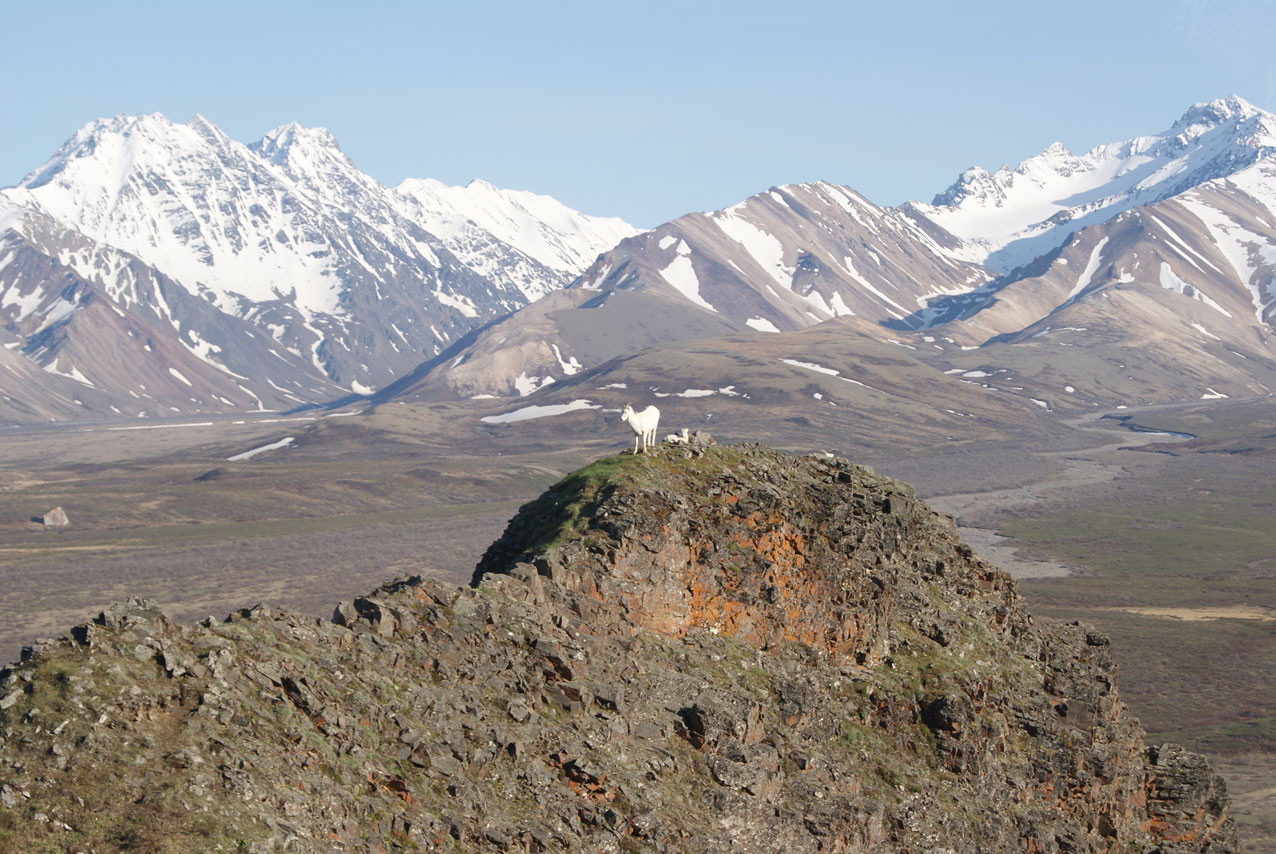 Goats in Denali National Park.