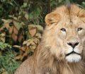 lion-174870_1920