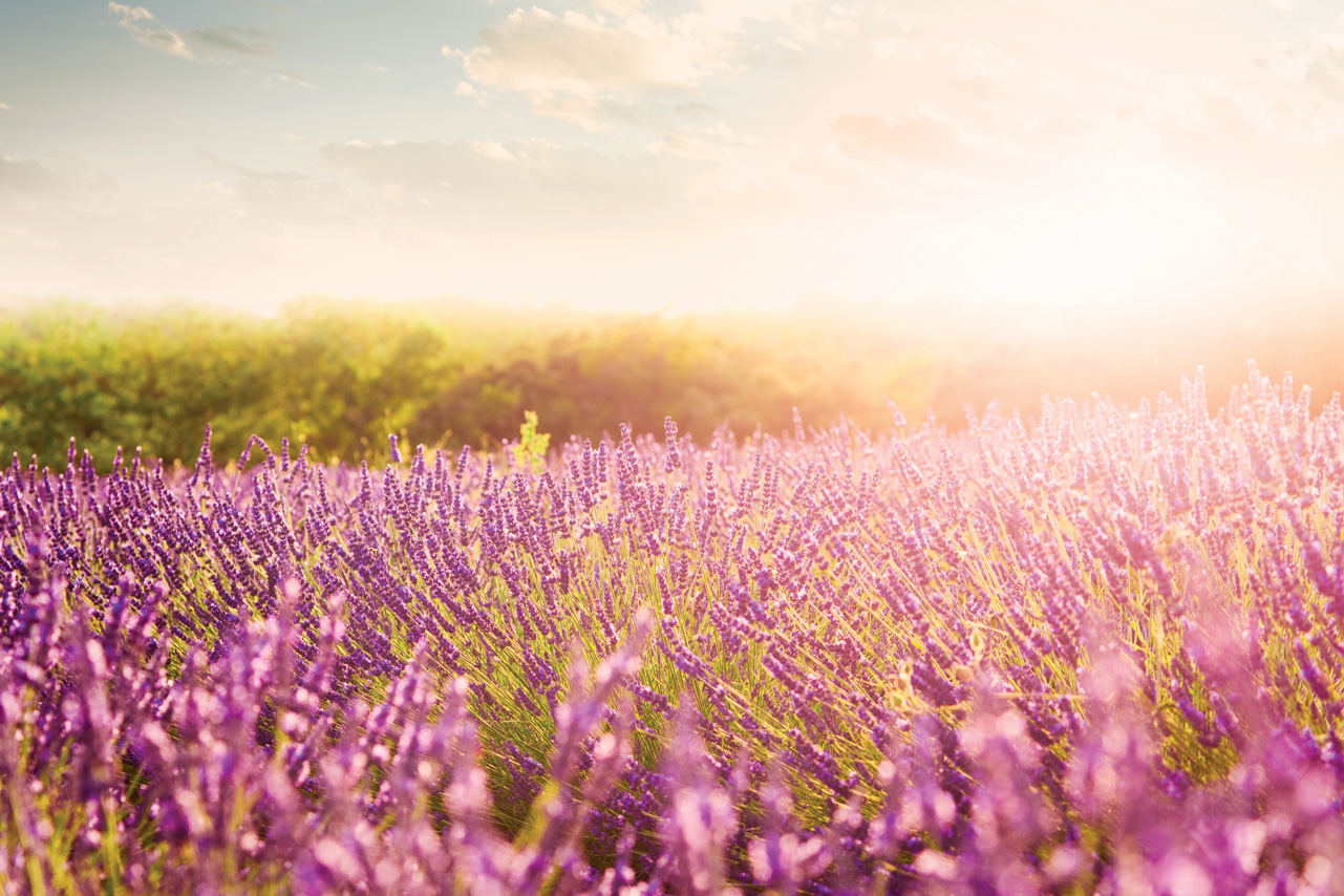 France_Provence_Lavender_is000021099569XXXLarge_abcrx