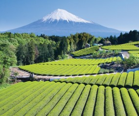 iS_3296992Large_MtFuji_TeaFields