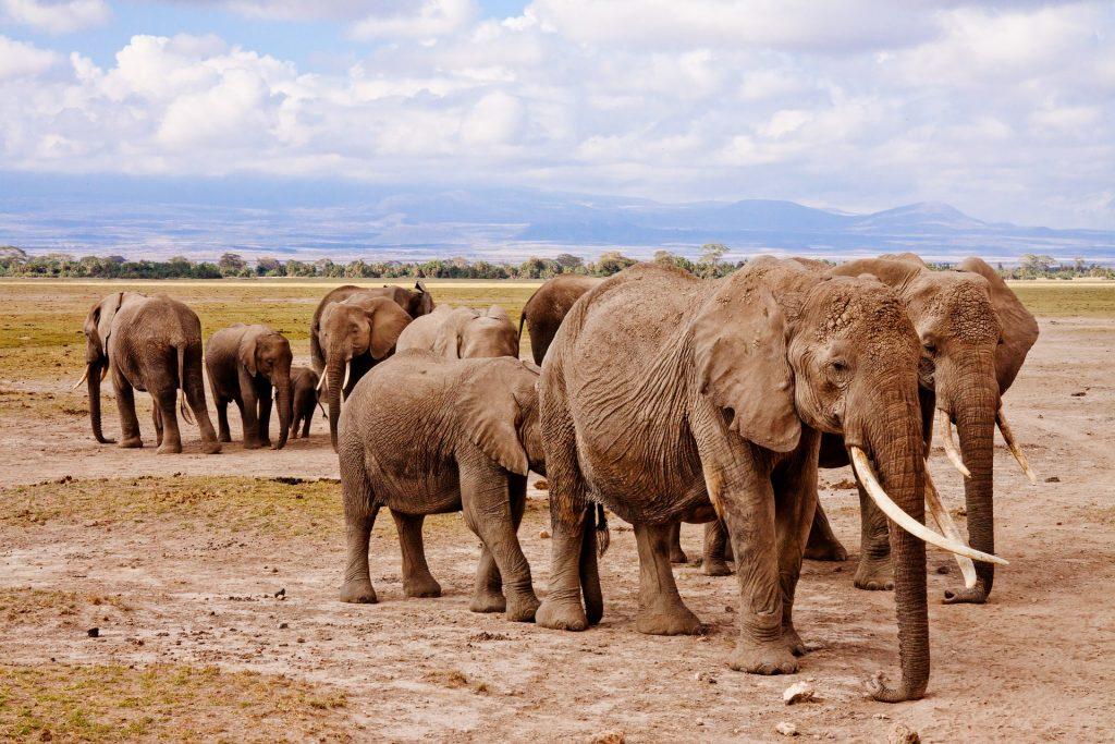 elephants-458990_1920