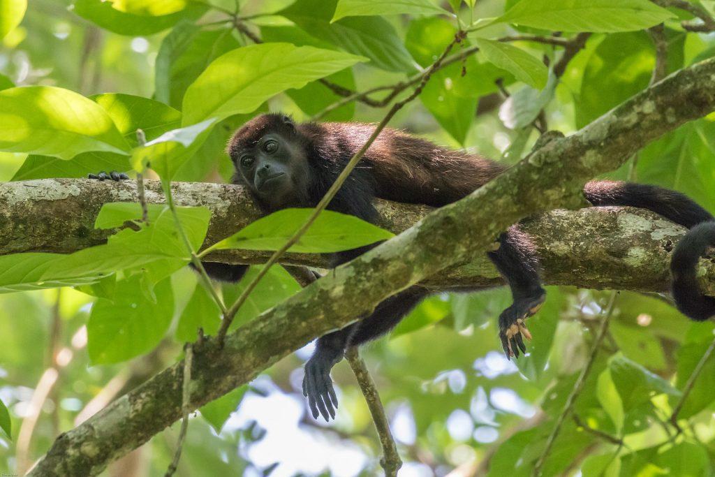 howler-monkey-2295248_1920